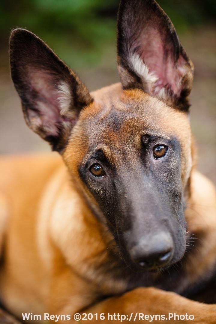 5 Months Old Malinois Puppy Zino Malinois Puppies Malinois Dog