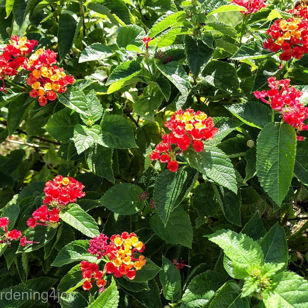 Lantana Anne Marie Is A Perfect Perennial Plant In Zones 9a 11 It S Easy To Grow Heat Tolerant Drought Tolerant Perennial Plants Lantana Attract Butterflies