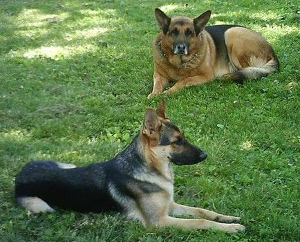 Young Female German Shepherds Go Into Heat For Their First Time