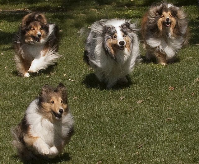 The Chase Shetland Sheepdog Sheep Dog Puppy Funny Dog Pictures