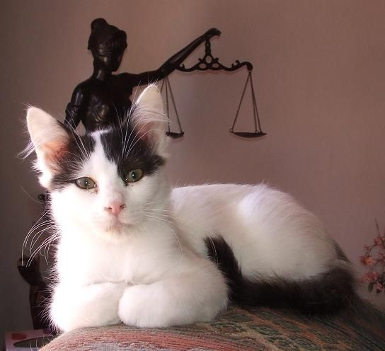 6fd0136ffd Cats - Black and White Turkish Van- Swimming Cats was listed for .