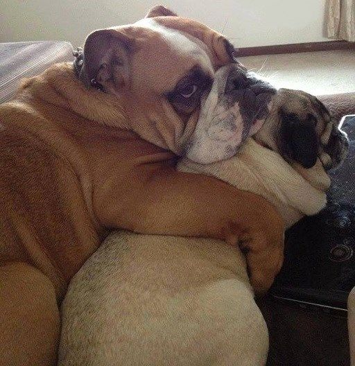 Pug And Bulldog Cute Pugs Bulldog Funny Animals