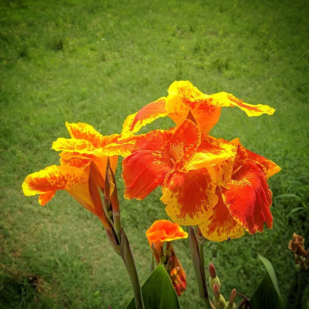 Kalvazhai flower
