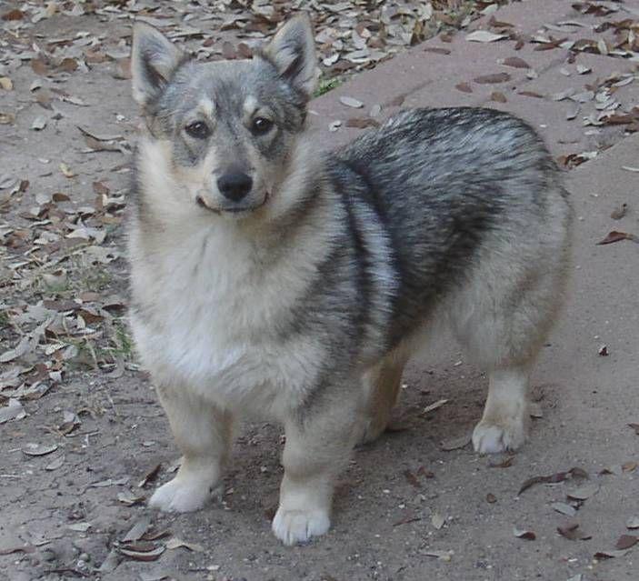 Corgi Husky Mix For Sale Dog Training Home Dog Types Wolf Corgi Lustige Bilder Von Tieren Lustige Tiere