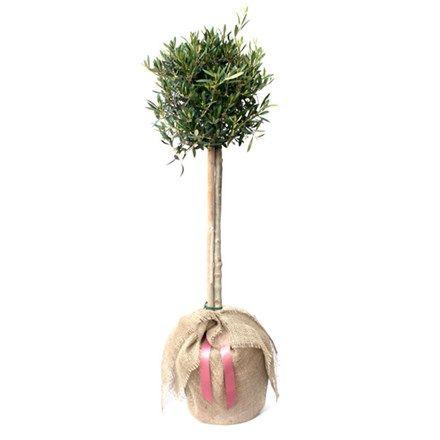 Olea Europaea Olive Tree Mini 189 Standard Buy