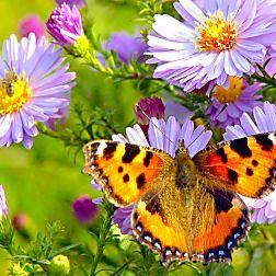 Die wichtigsten Schmetterlingspflanzen für den Garten
