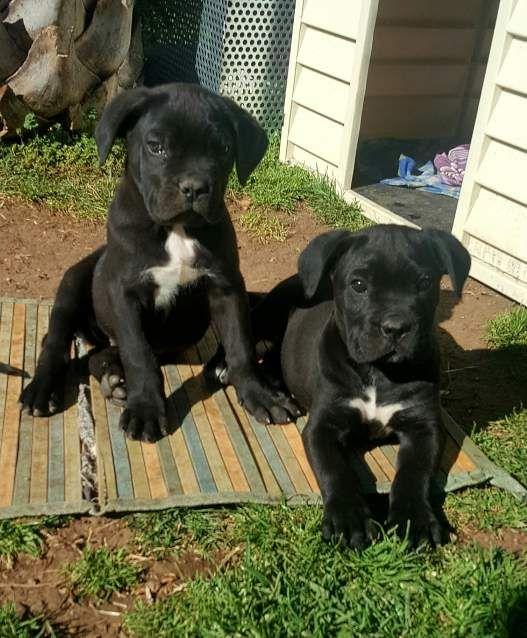 Cuccioli Di Cane Corso Dogs Cane Corso Puppies Cane Corso Cane