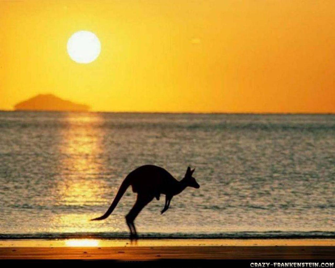 Новая зеландия Hd: Kangaroo HD Desktop Wallpaper Widescreen High Definition