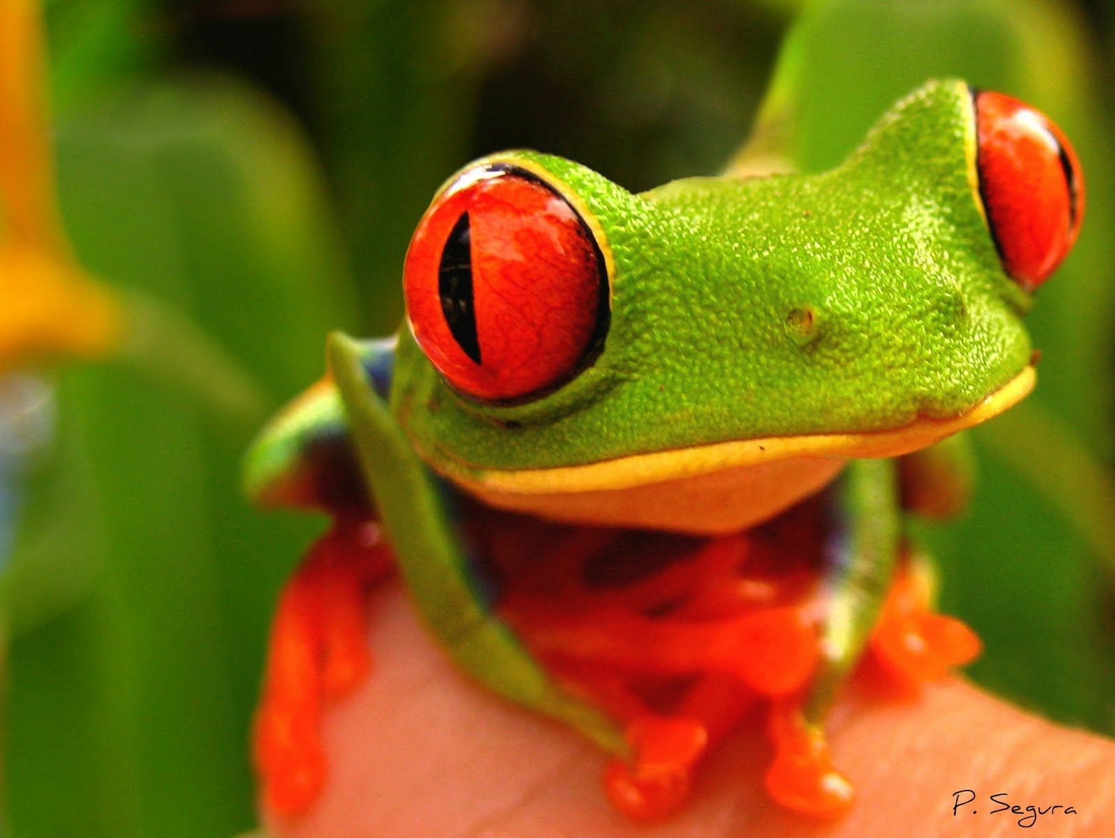 The redeye frog! the bright red eyes are form of