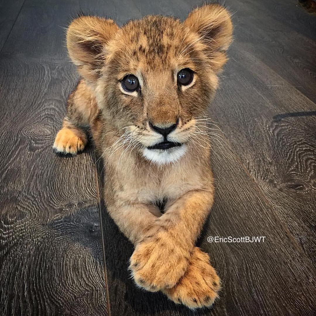 Baby animals instagram - Black Jaguar White Tiger Blackjaguarwhitetiger Fotos Y V Deos De Instagram Nature Animalswild Animalsbaby