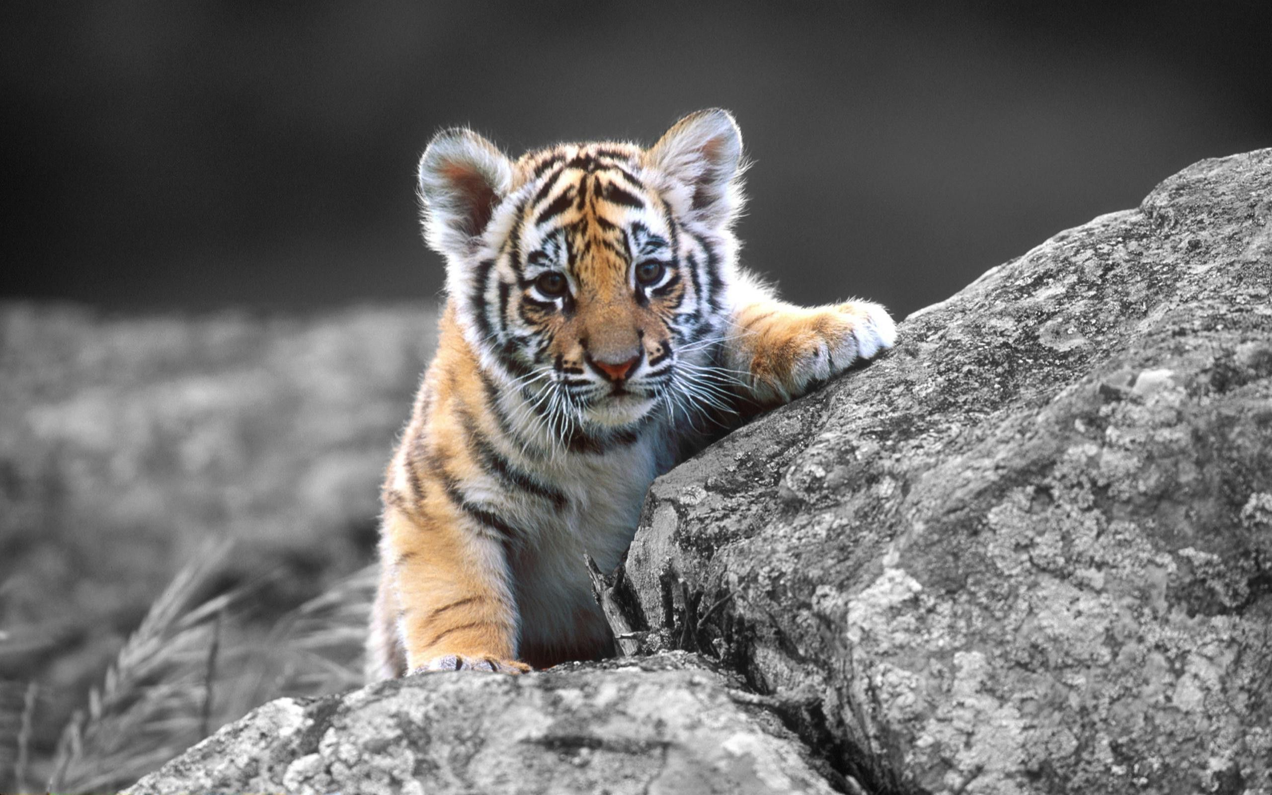 animals tiger baby tiger wallpaper - your hd wallpaper #id55351