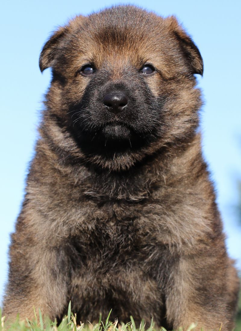 German Shepherd Puppies for sale from world class breeder