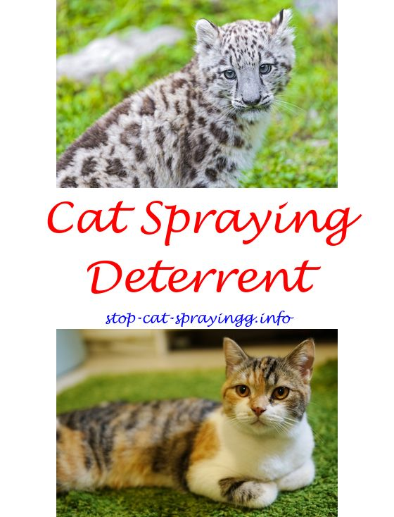 Cat Urinating On Furniture Solution Cat Pee Out Of Carpet Awesome   Cat Pee  Ideas.what Cleans Cat Spray Cat Spray Carpets How To Get Cat Urine Smelu2026