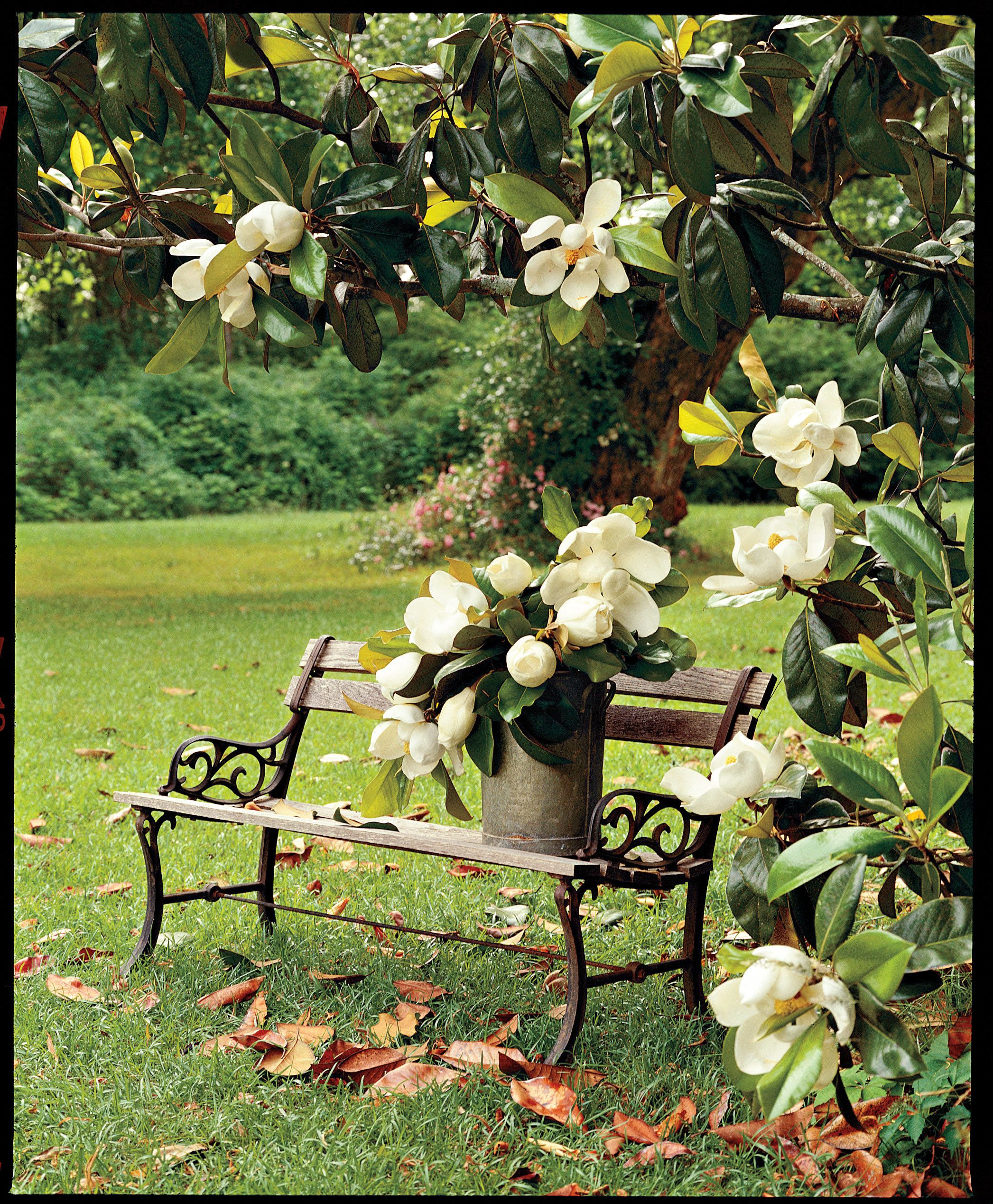 Magnolia Planting Guide Grow Flowering Trees Magnolia Trees