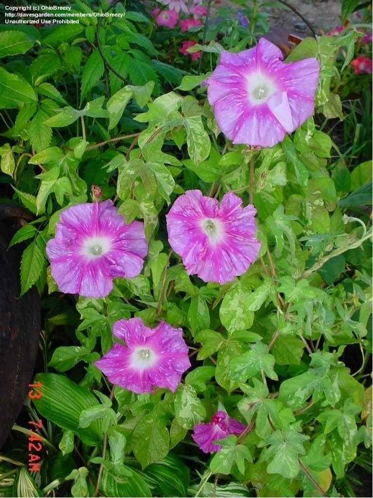 Plantfiles Pictures Japanese Morning Glory Hanahubuki Ipomoea Nil 2 By Ohiobreezy Beautiful Pink Flowers Morning Glory Flowers