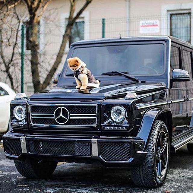 Dog Car Goals Image Via Mercedes Benz Com Pomeranian