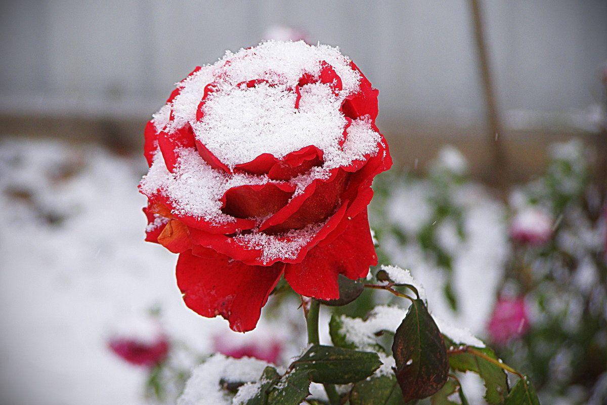 красивые картинки цветов и снега что сварщик