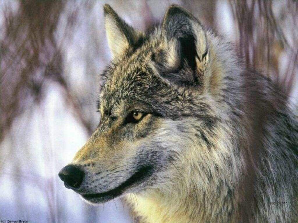Populaire Depuis petite, j'ai toujours adoré les loups. En général, ils  SP56