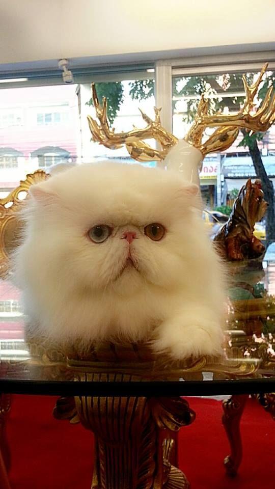 Persian Cat At Grooming Space Pet Hotel Salon