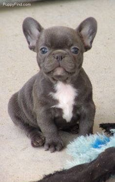 French Bulldog Puppies By Lori Wallen On Smooshed Nose Dogs Blue