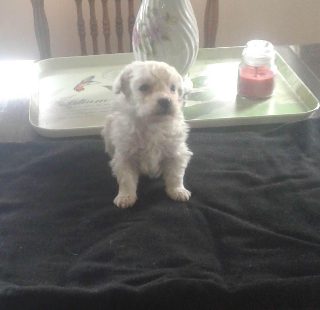 Kyrie Male Akc Bichon Frise Pup For Sale Near Edon Ohio
