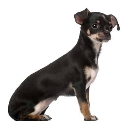 Little Known Facts About The Chihuahua Rat Terrier Mix Rat