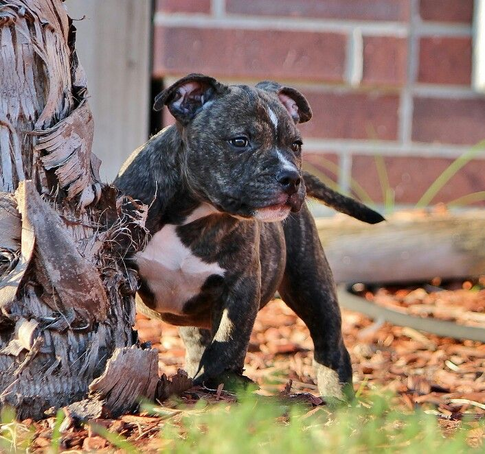 American Pocket Bully S Black Brindle At 10 Week S Old Bully