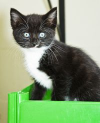 Karl Rspca Chesterfield Cat Adoption Cats Pet Adoption