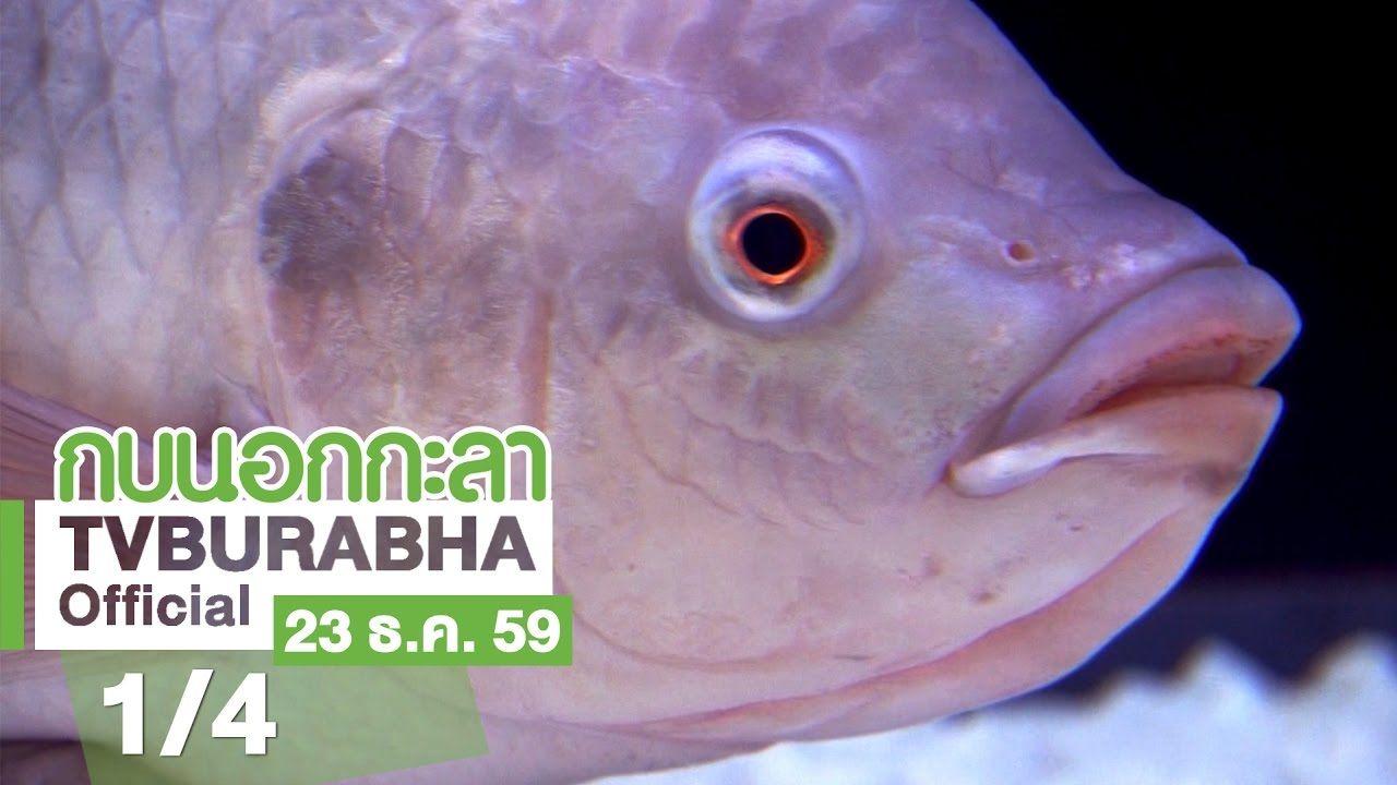 กบนอกกะลา ปลาน ล ปลาของพ อ อาหารของโลก ช วงท 1 4 22 ธ ค 59 Youtube
