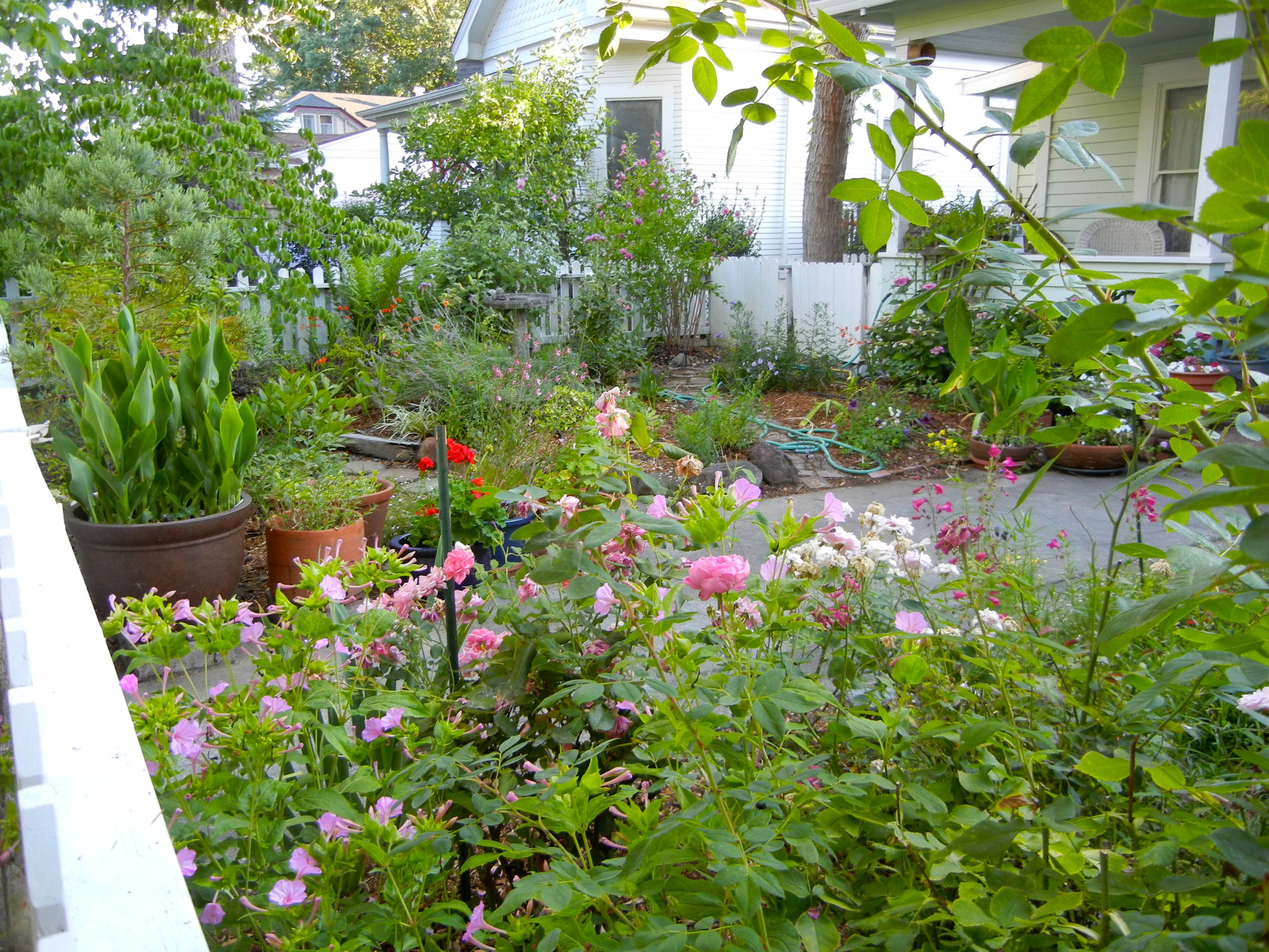 front yard california cottage garden combining roses nicotiana russian sage salvia