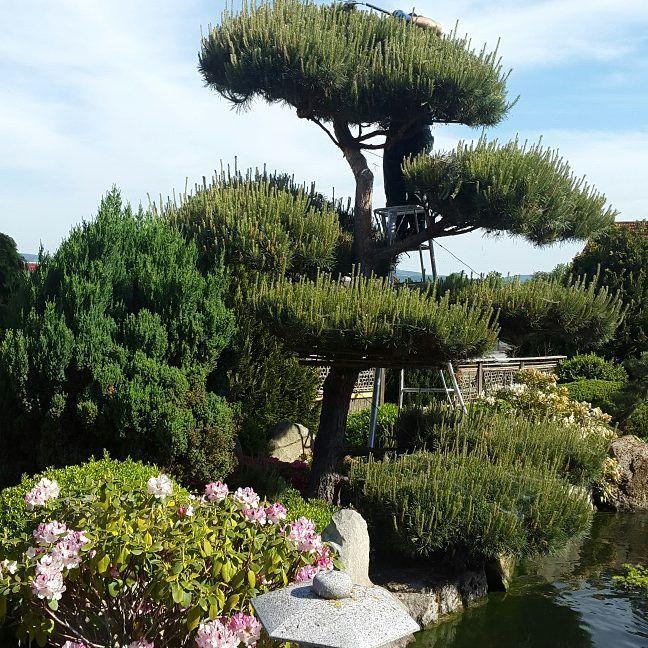 vorher nachher fr hjahrsschnitt eines kiefer gartenbonsai in unserem privatgarten japan. Black Bedroom Furniture Sets. Home Design Ideas
