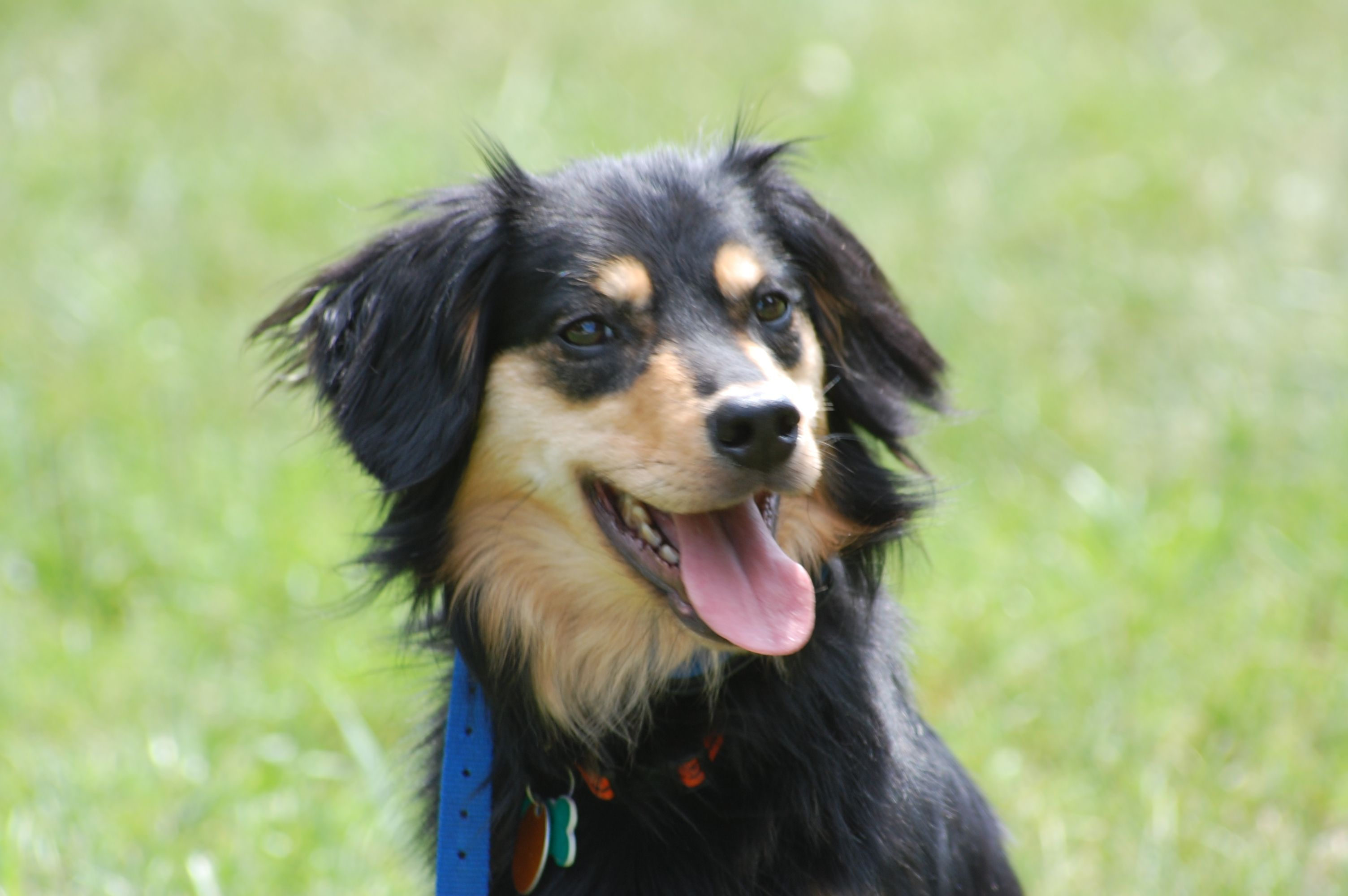 Pictures Of English Shepherd Dogs