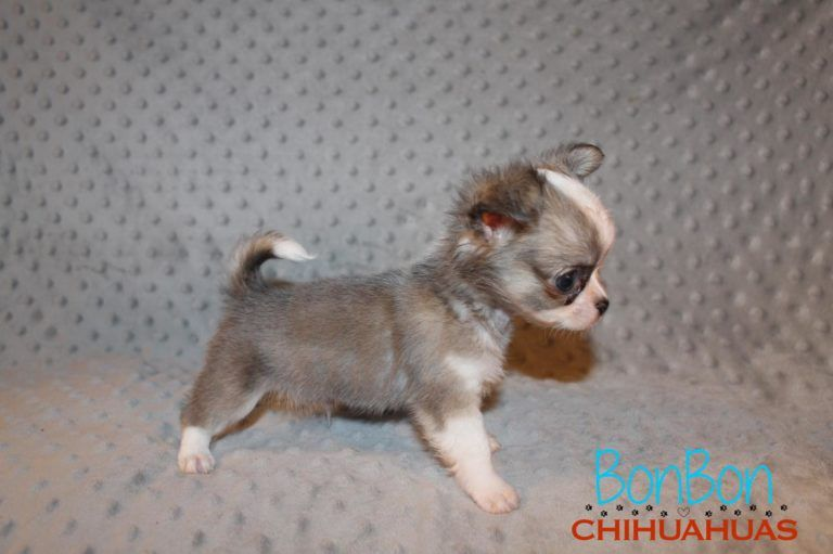 Chihuahua Puppies For Sale Chihuahua Puppies For Sale Chihuahua