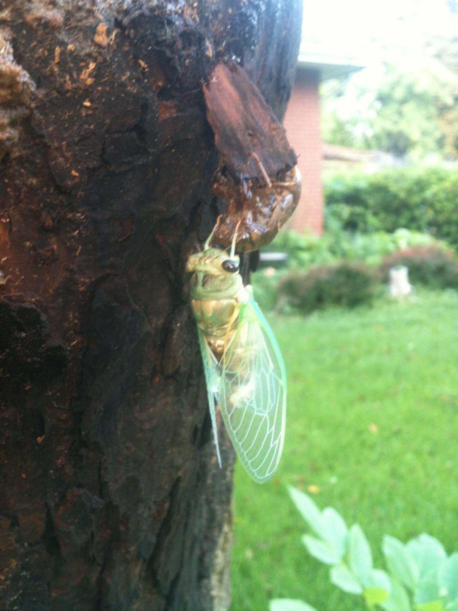 Neon green cicada! Pretty!