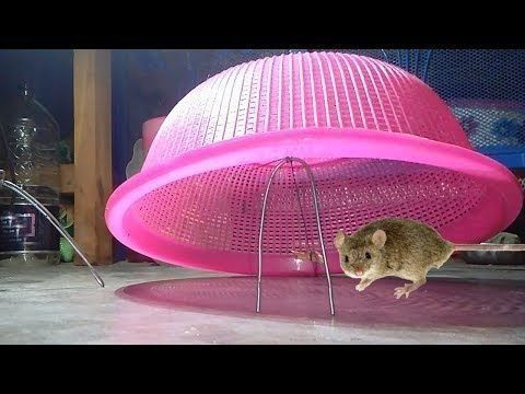 Awesome Quick Rat Trap Using Plastic Bowl How To Make Best Mouse Trap That Work  #mousetrap Awesome Quick Rat Trap Using Plastic Bowl How To Make Best Mouse Trap That Work  - 26 Beautiful Diy Rat Trap  Concept #mousetrap Awesome Quick Rat Trap Using Plastic Bowl How To Make Best Mouse Trap That Work  #mousetrap Awesome Quick Rat Trap Using Plastic Bowl How To Make Best Mouse Trap That Work  - 26 Beautiful Diy Rat Trap  Concept #mousetrap