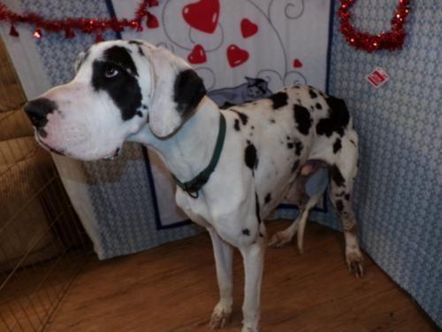Meet Riddick A Petfinder Adoptable Great Dane Dog Yakima Wa