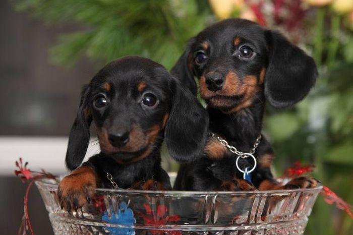 Bowl of doxies Weenie dogs, Black, tan dachshund