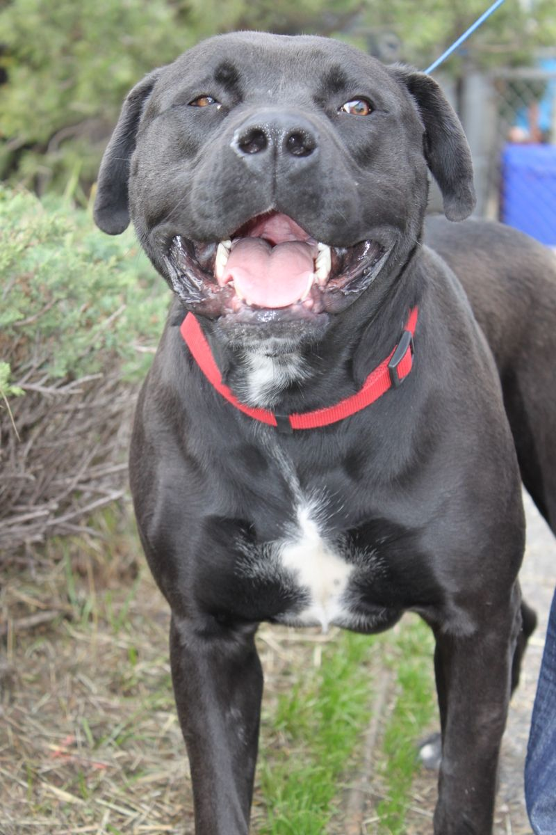 Adopt Lavender On Petfinder Dog Adoption Doggy Bull Mastiff
