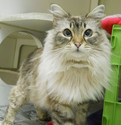 Adopt Aria On Pretty Cats Siamese Cats Cats And Kittens