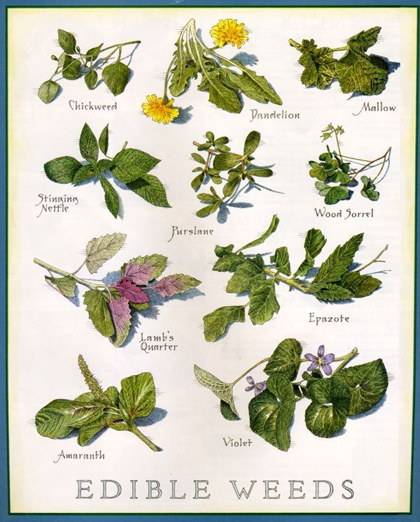 50 Essential Wild Edible Tea And Medicinal Plants You Need To