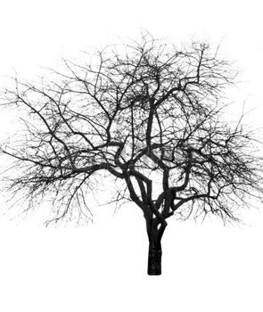 Leafless Gran árbol Desnudo Sin Hojas Aislado Sobre Fondo Blanco