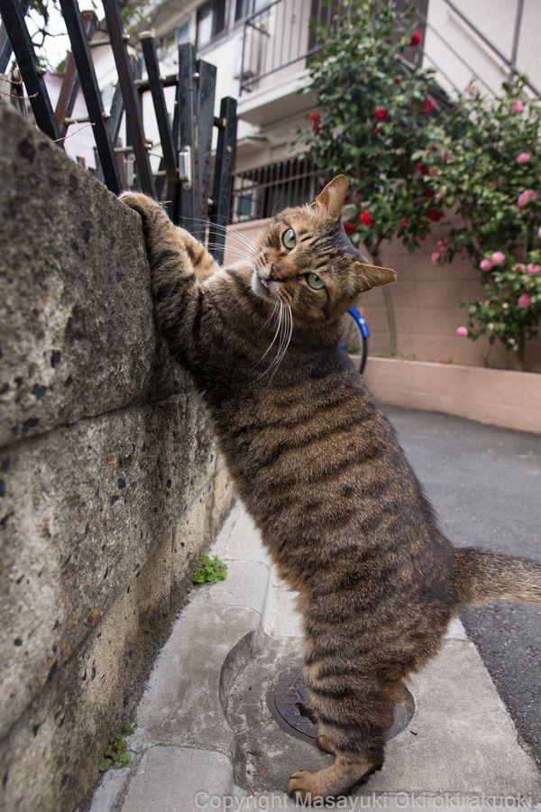 ブログランキング猫
