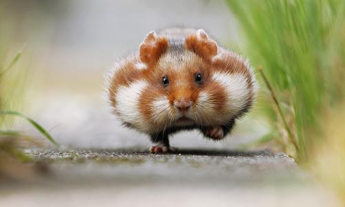 Quelle Internet Blogs Der Faz Susse Hamster Susseste Haustiere Tierbilder
