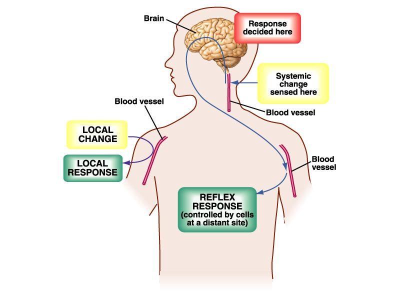 Homeostasis – Que es, definición, biologia, ejemplos | Medicina ...