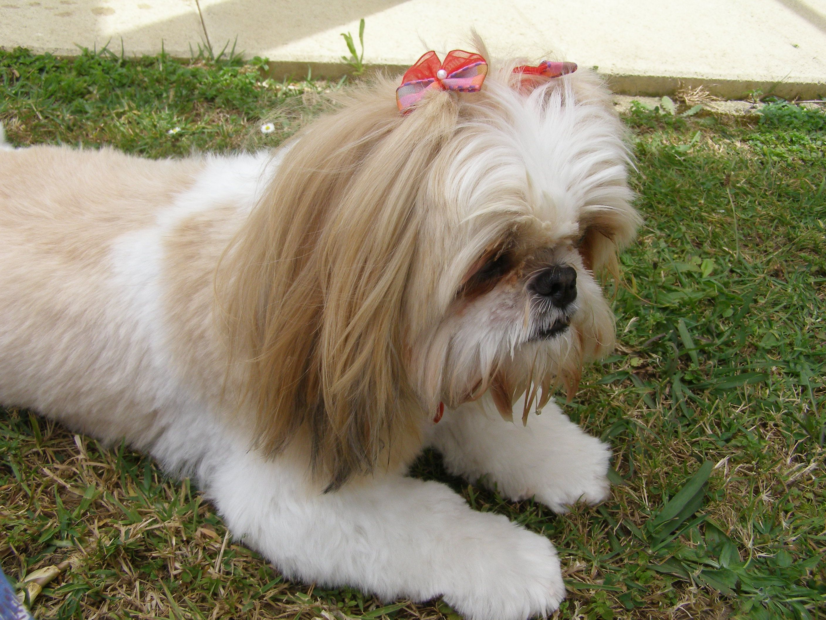 Gracey The Shihtzu After A Grooming Visit Dog Grooming Styles