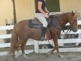 Farah is a 15 year old, 14.2 hand BLM chestnut mare. She is forward and needs an experienced rider. Adoption fee $500.