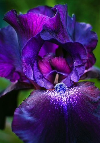 Invitation Purple Iris I M Thinking Sweetheart Neckline Empire Waist With Puff Sleeves If Only I Could Find A Fab Iris Flowers Rare Flowers Purple Flowers