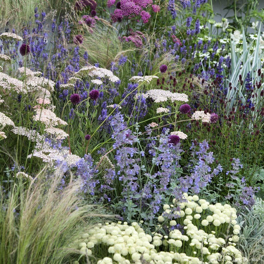 Our Planet Plants On Instagram Flowers Mix With Grass Santolina Pinnata Bottom Asteraceae In 2020 Prairie Garden Drought Tolerant Perennials