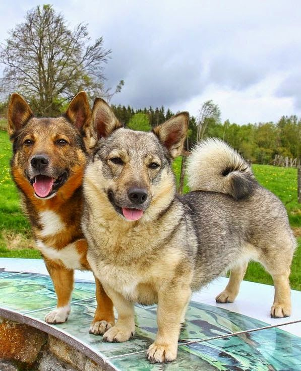 Swedish Vallhund Is A Strong And Muscular Dog They Are Believed To Be Distinguished During The Age Of Vikings More Tha Dog Breeds Unique Dog Breeds Rare Dogs