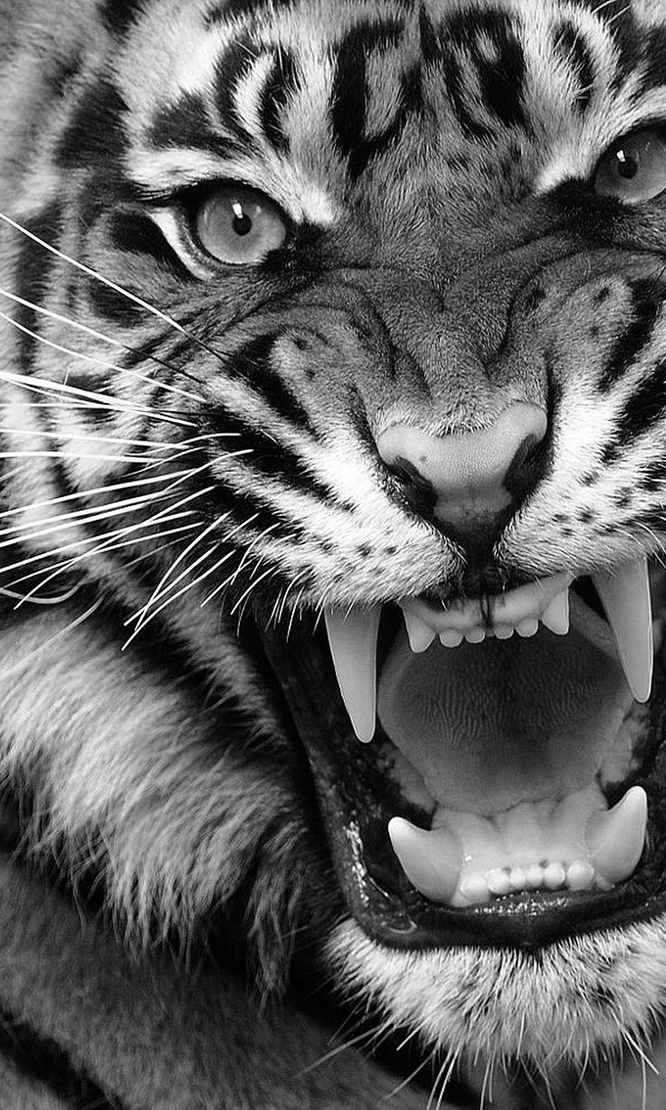 Angry Tiger | MINIMUM TREND #minimal #Tiger #Trend #Angry, #minimal